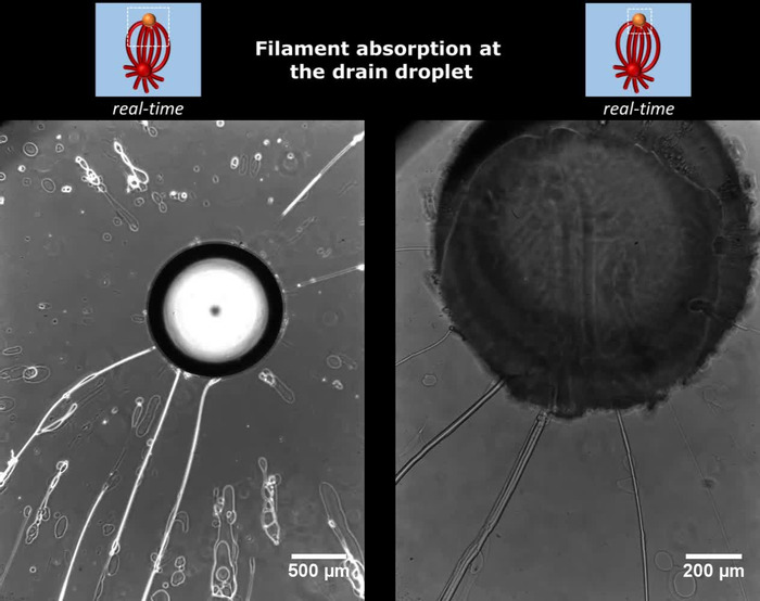 Thumbnail image of Movie 2 - Filament absorption at drain droplet.mov